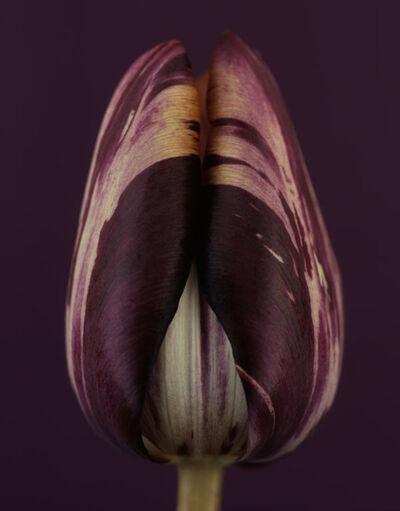 Ron van Dongen, 'Tulipa Insulinde'
