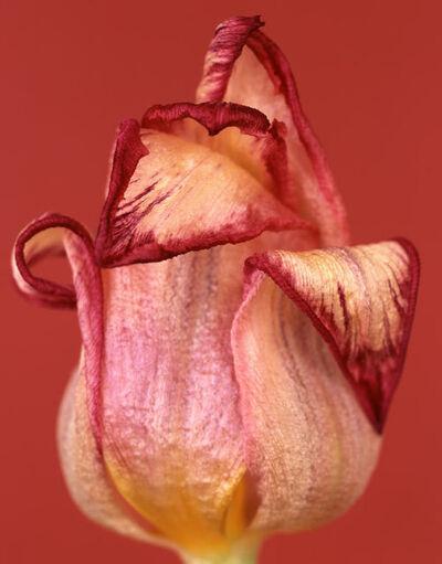 Ron van Dongen, 'Tulipa Royal Dream'