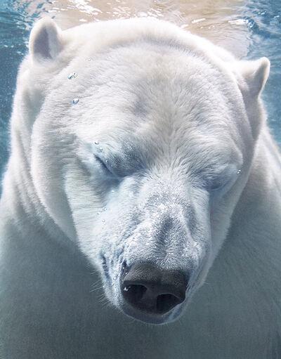 Tim Flach, 'Polar Bear Portrait', ca. 2016
