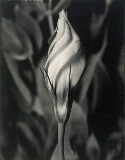 Tom Baril, 'Eustoma', 1998