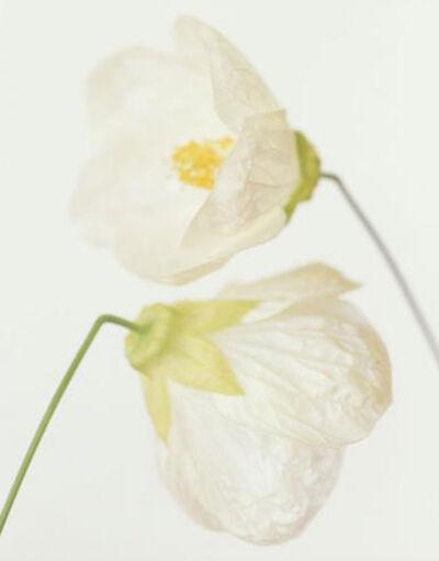 Ron van Dongen, 'Abutilon 'Blanca'', 2006