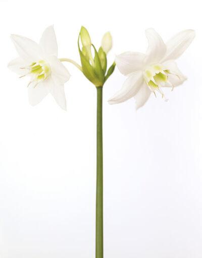 Ron van Dongen, 'Eucharis Grandiflora'