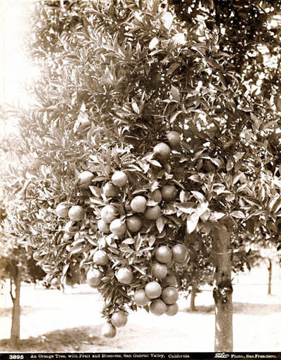 Isaiah West Taber, 'An Orange Tree, with Fruit and Blossoms, San Gabriel Valley, California', 1880c/1880c