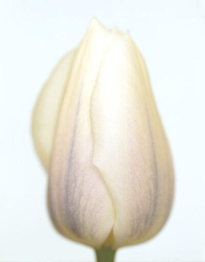 Ron van Dongen, 'Tulipa White Virgin'