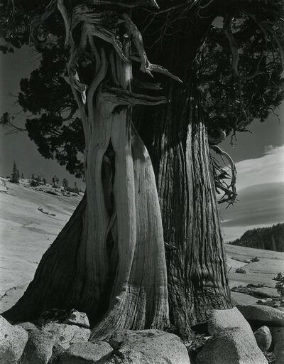 Edward Weston, 'Juniper/Tenaya Lake', 1937
