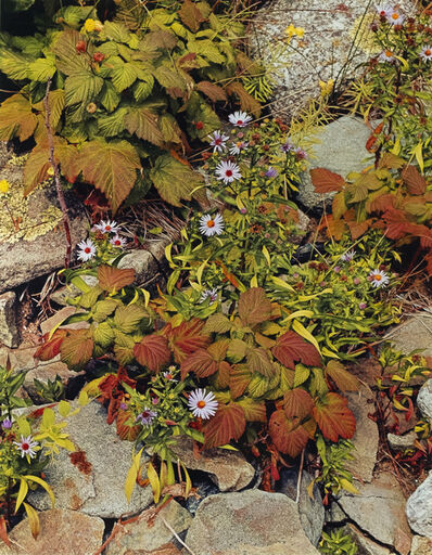 Eliot Porter, 'Bracken and Hawkweed, Michigan', 1973