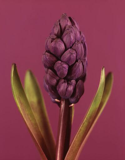 Ron van Dongen, 'Hyacinthus Woodstock'