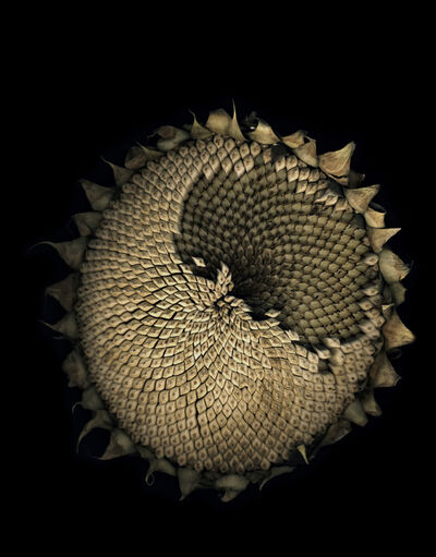 Jitka Hanzlová, 'Untitled (Sunflower) from FLOWERS', 2009