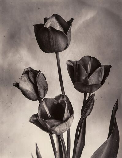Charles Jones, 'Darwin Tulips', ca.1905