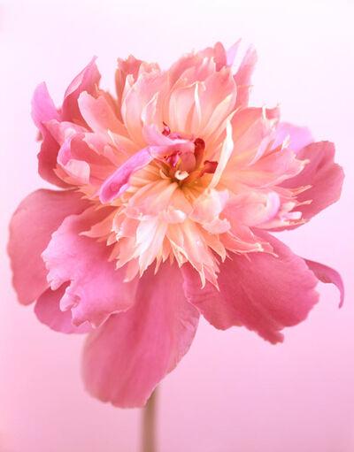 Ron van Dongen, 'Peonia Cameo Rose', 2009