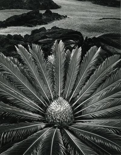 Don Worth, 'Cycas Revoluta, Hilo, Hawaii, 1977', 1977