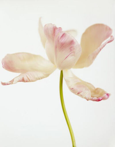 Ron van Dongen, 'Tulipa Pink Parrot II', 2008