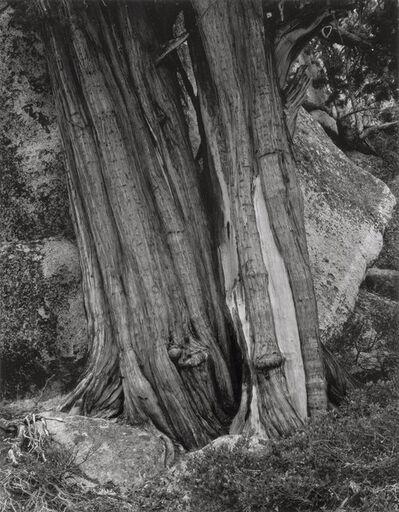Minor White, 'Tree Trunk', 1950s