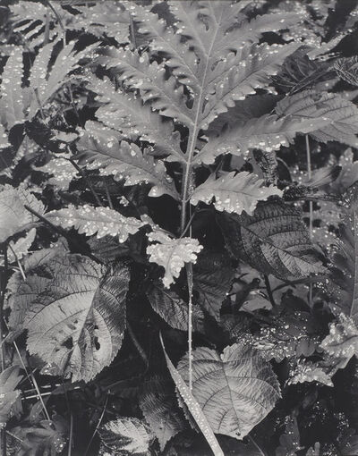 Paul Strand, 'Fern, Early Morning, Georgetown, Maine', 1927