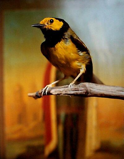 Andres Serrano, 'Hooded Warbler II', 2000