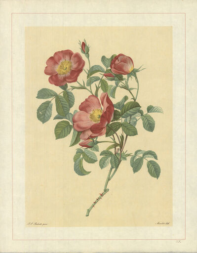 Pierre Joseph Redouté, 'Rosa Pumila; Rosier d'Amour; Rosier d'Autriche', 1938