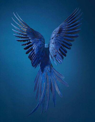 Tim Flach, 'Hyacinth Macaw', ca. 2016