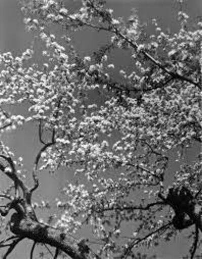 Edward Steichen, 'Apple Blossoms', 1984