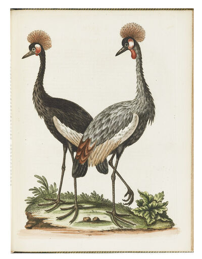 George Edwards, 'A Natural History of Uncommon Birds, and of Some other Rare and Undescribed Animals… ', 1743-1764