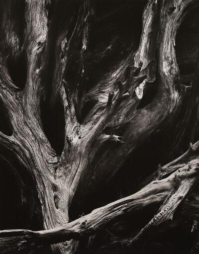 Ansel Adams, 'Sequoia Roots', ca. 1950