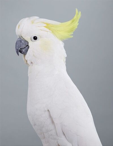 Leila Jeffreys, 'Scratch, Sulphur-crested Cockatoo', 2017
