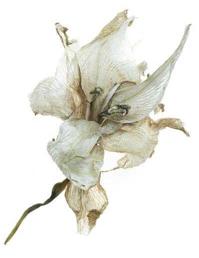 TIM NIGHSWANDER, 'Amaryllis #19', 2017
