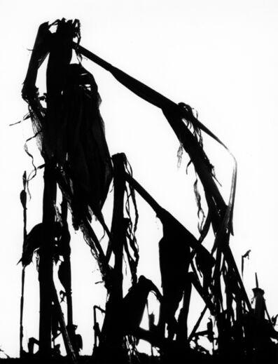 Lucien Clergue, 'Le marais d'Arles, Maïs', 1960