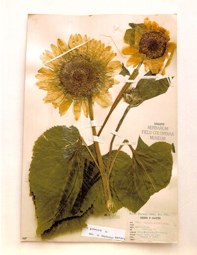 Terry Evans, 'Field Museum, Helianthus, Chicago, 1905', 2000