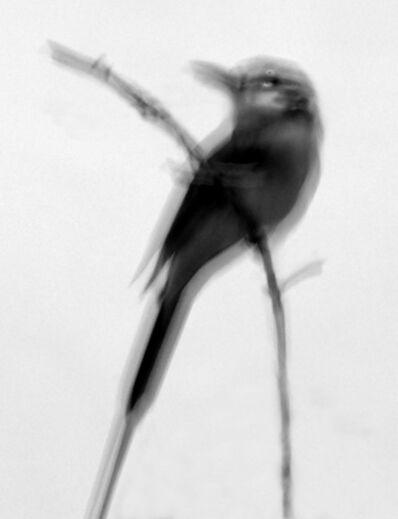 Elliot Ross, 'Bee-eater', 2016