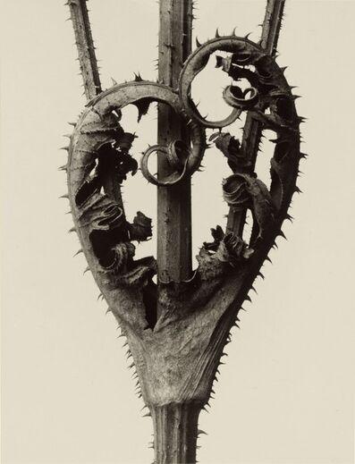 Karl Blossfeldt, 'Art Forms in Nature', 1929