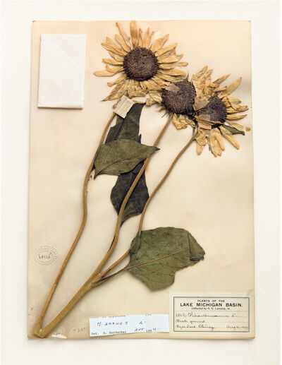 Terry Evans, 'Field Museum, Helianthus Annuus, 1899', 2000