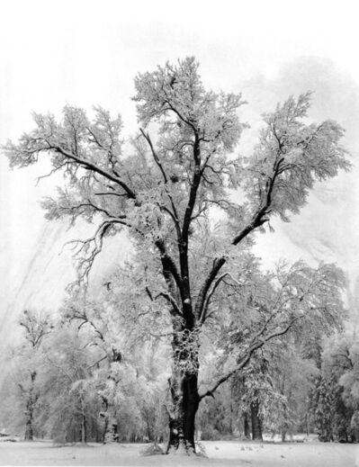 Ansel Adams, 'Oaktree, Snowstorm', 1936