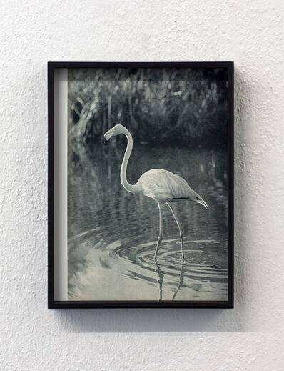 Talisa Lallai, 'Der gewöhnliche Flamingo (Phoenicopterus ruber roseus)', 2015