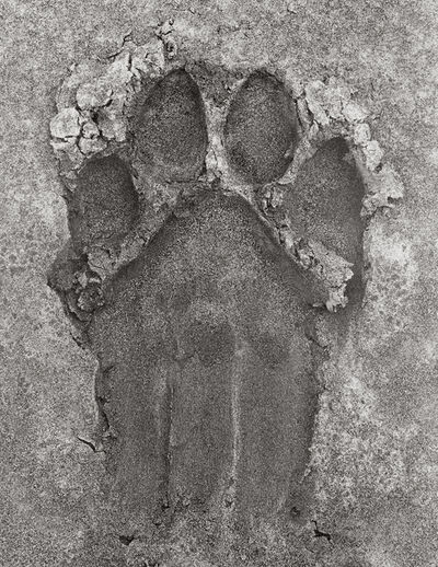 Herb Ritts, 'Lion Paw Print, Africa', 1993