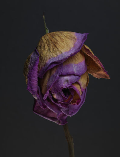 TIM NIGHSWANDER, 'Rose #9', 2017