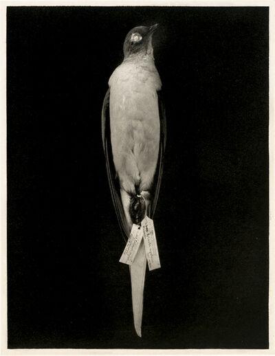 Susan Middleton, 'Passenger Pigeon', 2008