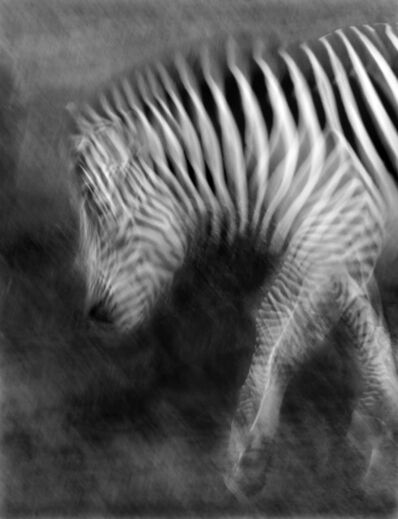 Elliot Ross, 'Plains Zebra', 2015