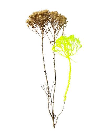 Richelle Gribble, 'Dried Plant', 2018