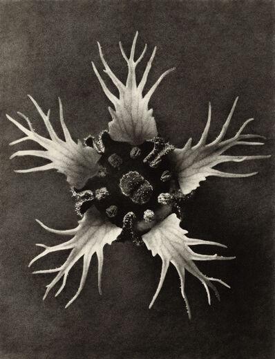 Karl Blossfeldt, 'Tellima grandiflora', 1932