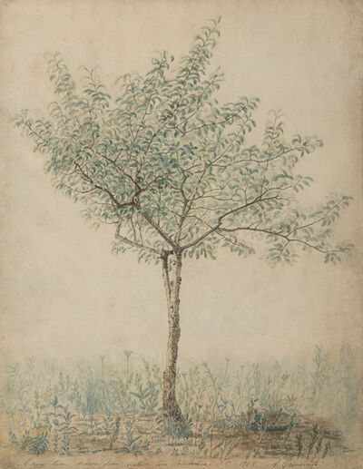 A. Grinevato, 'A Pear Tree Drawn from Nature in Columbia, South Carolina', 1865