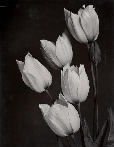 Charles Jones (1866-1959), 'Tulip', c. 1900