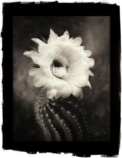 Cy DeCosse, 'Argentine Giant Cactus'
