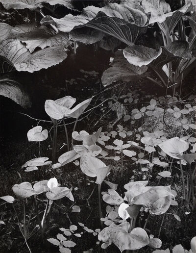Eliot Porter, 'Water Arum, Maine', 1938