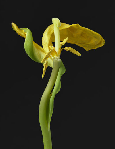 TIM NIGHSWANDER, 'Yellow Tulip #19', 2018
