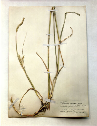 Terry Evans, 'Field Museum, Andropogon, 1893', 1999