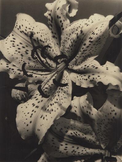 Alma Lavenson, 'Auratum Lily', 1932