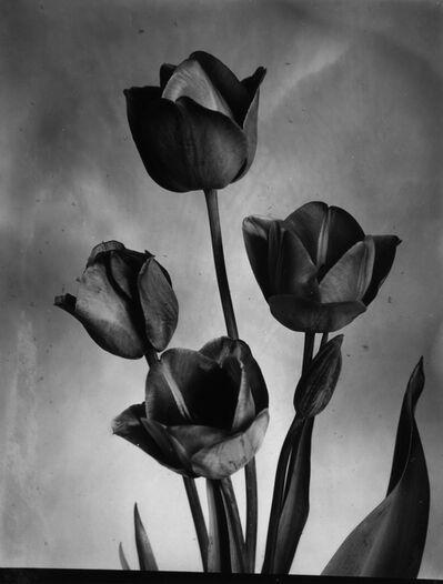Charles Jones (1866-1959), 'Darwin Tulips', 1905