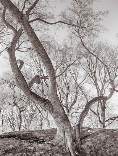 Lee Backer, 'Elm Tree on Rock, Central Park, New York'