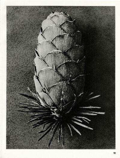 Karl Blossfeldt, 'Plate 16- Larix dicidua', 1932