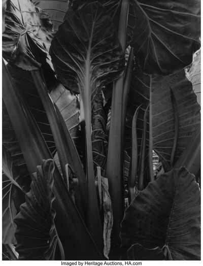 Paul Strand, 'Plant, Akosombo, Ghana', 1963